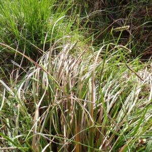 Photographie n°21267 du taxon Carex laevigata Sm.