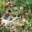 Mathieu MENAND - Carex tomentosa L. [1767]