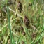 Mathieu MENAND - Carex limosa L. [1753]