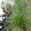 Mathieu MENAND - Carex paniculata L.