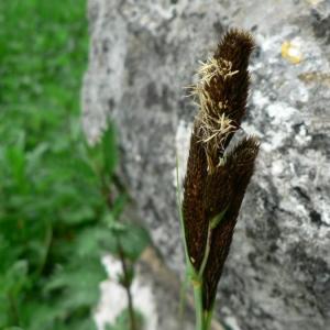 Photographie n°21324 du taxon Carex riparia Curtis [1783]