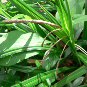 Photographie n°21331 du taxon Carex pendula Huds. [1762]