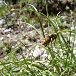 - Carex curvula All. [1785]