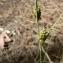 Mathieu MENAND - Carex rostrata Stokes
