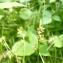 Mathieu MENAND - Carex pilulifera L.