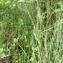 Mathieu MENAND - Cladium mariscus (L.) Pohl