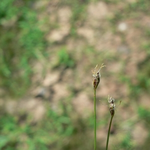 Eleocharis acicularis (L.) Roem. & Schult. (Scirpe épingle)