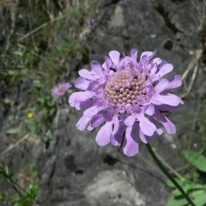 Photographie n°21403 du taxon Scabiosa cinerea Lapeyr. ex Lam. [1792]
