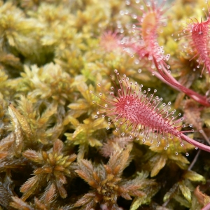 - Drosera longifolia L. [1753]