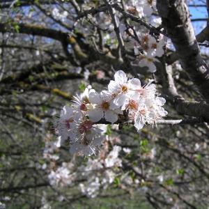 Photographie n°21572 du taxon Prunus mahaleb L.