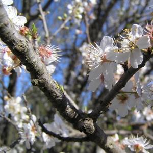 Photographie n°21573 du taxon Prunus mahaleb L.