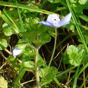 Photographie n°21587 du taxon Veronica filiformis Sm.