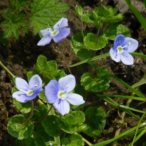 Photographie n°21588 du taxon Veronica filiformis Sm.