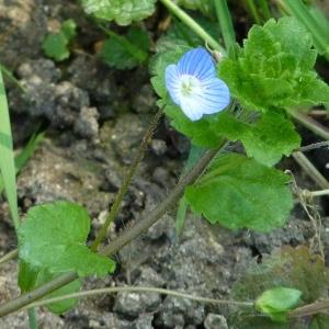 Photographie n°21589 du taxon Veronica filiformis Sm.