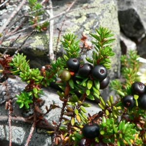 Empetrum nigrum L. (Camarine noire)