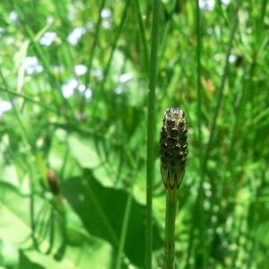 Photographie n°21619 du taxon Equisetum palustre L.