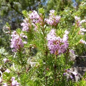 Photographie n°21623 du taxon Erica multiflora L.