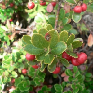 Photographie n°21627 du taxon Arctostaphylos uva-ursi subsp. crassifolius (Braun-Blanq.) L.Villar [1980]