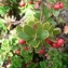 Mathieu MENAND - Arctostaphylos uva-ursi subsp. crassifolius (Braun-Blanq.) L.Villar [1980]