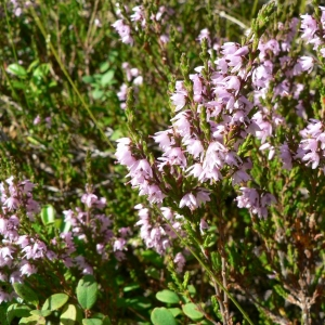 Photographie n°21637 du taxon Calluna vulgaris (L.) Hull