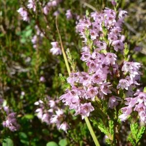 Photographie n°21648 du taxon Calluna vulgaris (L.) Hull
