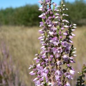 Photographie n°21682 du taxon Calluna vulgaris (L.) Hull