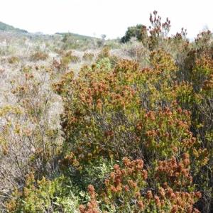 Photographie n°21690 du taxon Erica multiflora L.