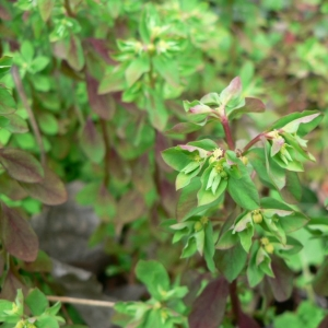 Photographie n°21695 du taxon Euphorbia peplus L. [1753]