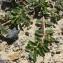Mathieu MENAND - Euphorbia maculata L. [1753]