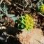 Mathieu MENAND - Euphorbia flavicoma subsp. mariolensis (Rouy) O.Bolòs & Vigo [1974]