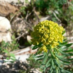 Photographie n°21711 du taxon Euphorbia cyparissias L. [1753]