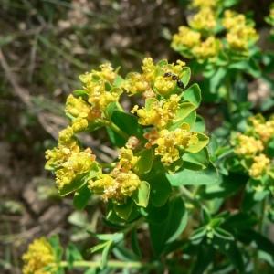 Euphorbia flavicoma DC. subsp. flavicoma (Euphorbe)