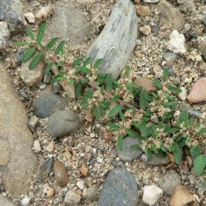 Photographie n°21718 du taxon Euphorbia jovetii Huguet [1971]