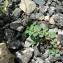 Mathieu MENAND - Euphorbia prostrata Aiton