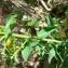 Mathieu MENAND - Euphorbia flavicoma subsp. flavicoma