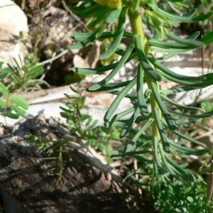 Photographie n°21758 du taxon Euphorbia cyparissias L. [1753]