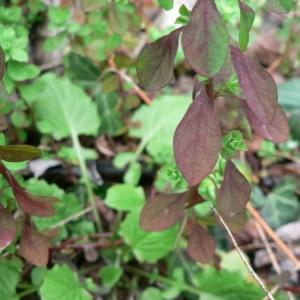 Photographie n°21767 du taxon Euphorbia peplus L. [1753]