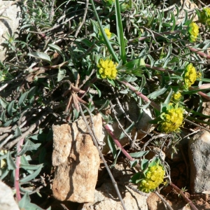 Photographie n°21771 du taxon Euphorbia flavicoma subsp. mariolensis (Rouy) O.Bolòs & Vigo [1974]