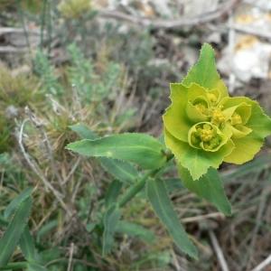 Photographie n°21779 du taxon Euphorbia serrata L. [1753]