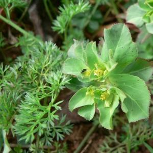 Photographie n°21781 du taxon Euphorbia helioscopia L. [1753]