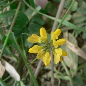 Coronilla securidaca L. (Sécurigère en forme de hachette)