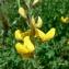 Mathieu MENAND - Adenocarpus complicatus (L.) J.Gay