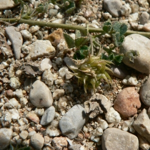 Photographie n°21806 du taxon Medicago littoralis Rohde ex Loisel.