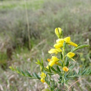 Photographie n°21809 du taxon Genista anglica L.