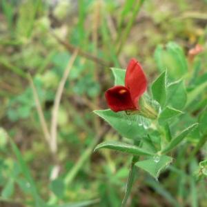 - Tetragonolobus purpureus Moench