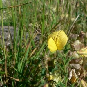 Photographie n°21829 du taxon Ononis natrix L. [1753]
