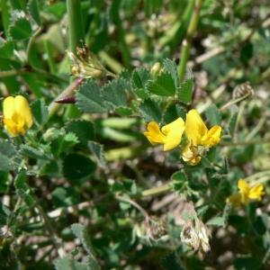 Photographie n°21833 du taxon Medicago littoralis Rohde ex Loisel.