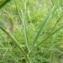 Mathieu MENAND - Trifolium angustifolium L. [1753]