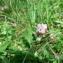 Mathieu MENAND - Trifolium thalii Vill. [1779]