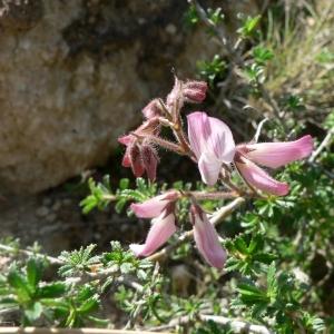 Photographie n°21849 du taxon Ononis fruticosa L.